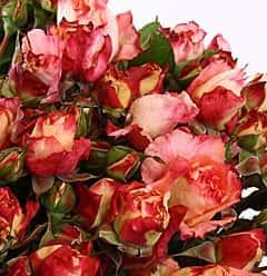 Роза кустовая Августа Люзи 60 см