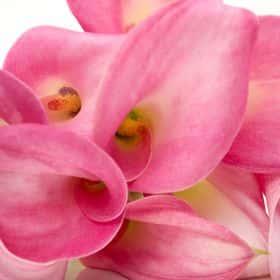 Калла розовая (от 7 шт.)