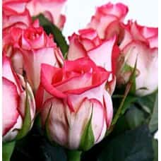 Роза Нью джой