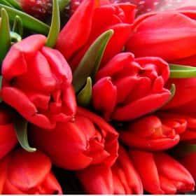 Тюльпаны красные (от 21 шт.)