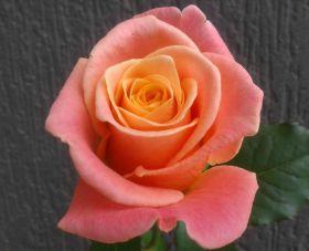 """Роза """"Мисс Пигги"""""""