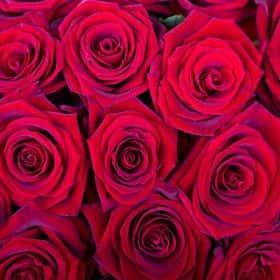 Роза Гран При (от 11 шт.)