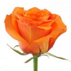 """Роза """"Уайлд Кард"""""""
