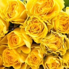Роза желтая (от 11 шт.)