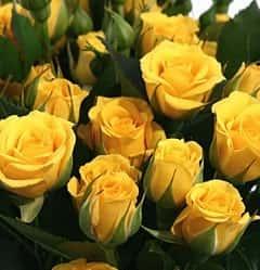 Роза кустовая Еллоу Бейби 70 см